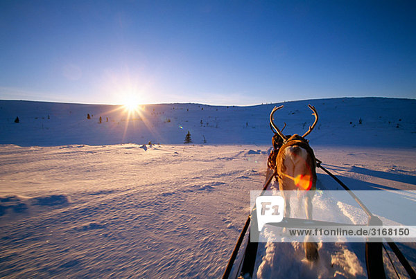 reindeer with a sledge  Lapland  Sweden.