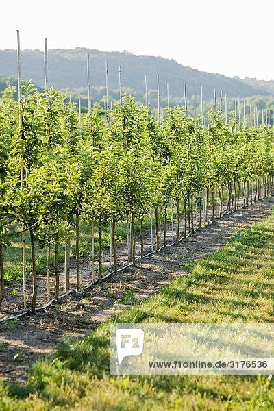 Obstgarten der Apfelbäume  Schweden.