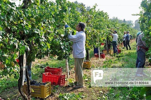 Italy  Province of Brescia  Lombardy. Franciacorta  Vineyard.
