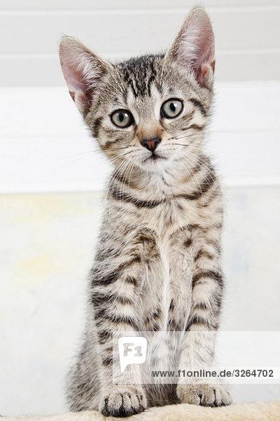 Hauskatze  Kätzchen  Portrait