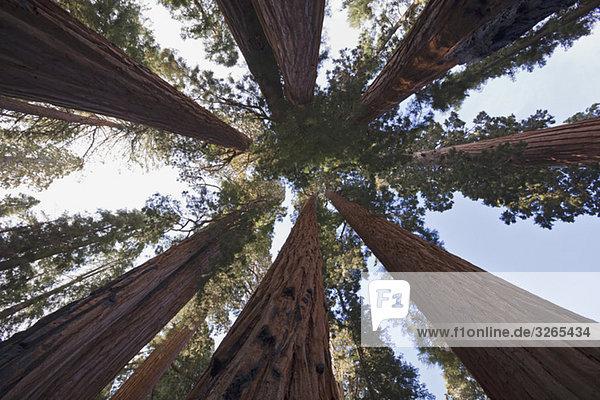 USA  Kalifornien  Riesenmammutbäume (Sequoiadendron giganteum) Tiefwinkelansicht