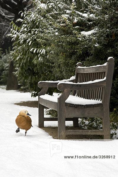 Vogel zu Fuß in Schnee in der Nähe von einer Bank in einem Park  Madrid  Spanien