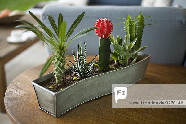 Detail der Kaktus Pflanzen Topf auf einem Tisch  Madrid  Spanien