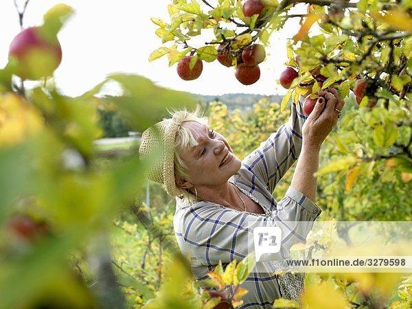 Reife Frau beim Äpfel pflücken Reife Frau beim Äpfel pflücken
