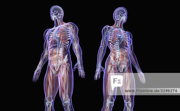 Körpermodell eines Mannes und einer Frau