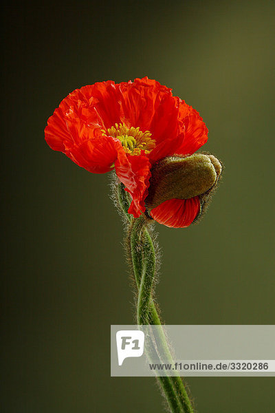 Zwei Mohnblumen (Papaver rhoeas)  Close-up