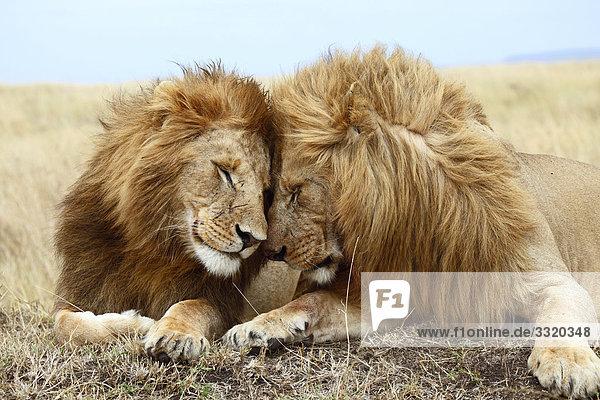 Zwei Löwen (Panthera leo) nebeneinander liegend  Masai Mara National Reserve  Kenia  Porträt