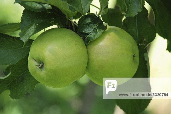 zwei grüne Äpfel am Baum