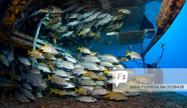 Photographer with schooling fish