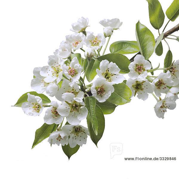 PEAR Blüten auf weißem Hintergrund