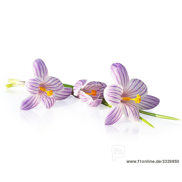 Crocus Blumen auf weißem Hintergrund