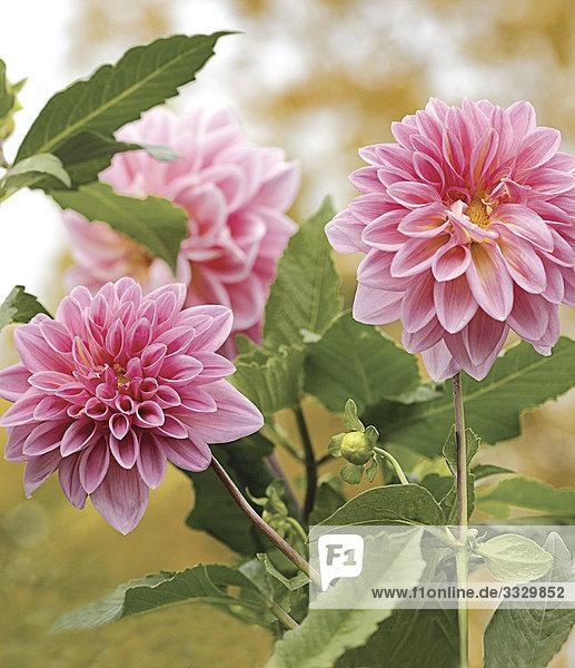 Rosa Dahlia Blumen
