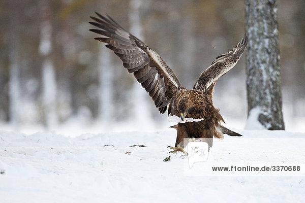 Steinadler (Aquila chrysaetos)  Skelleftea  Schweden