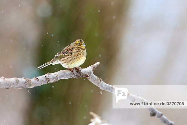 Yellowhammer (Emberiza citrinella) sitting on a twig,  close-up