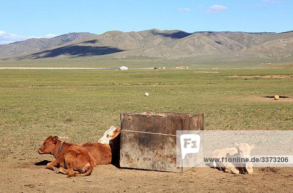Kühe ruhen im mongolischen Feld