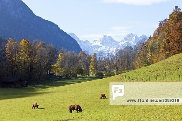 Rinder grasen auf einer grünen Wiese  Schneizlreuth  Deutschland  Erhöhte Ansicht