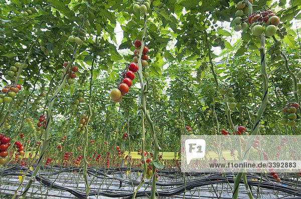 tomaten plantage im gew chshaus lizenzpflichtiges bild. Black Bedroom Furniture Sets. Home Design Ideas