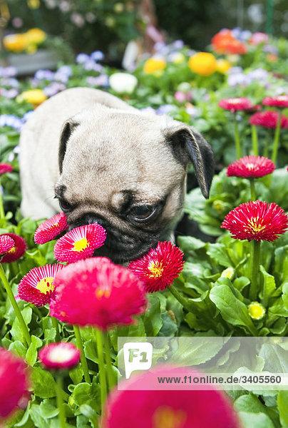 Mopswelpe riecht an Blumen  Close-up Mopswelpe riecht an Blumen, Close-up