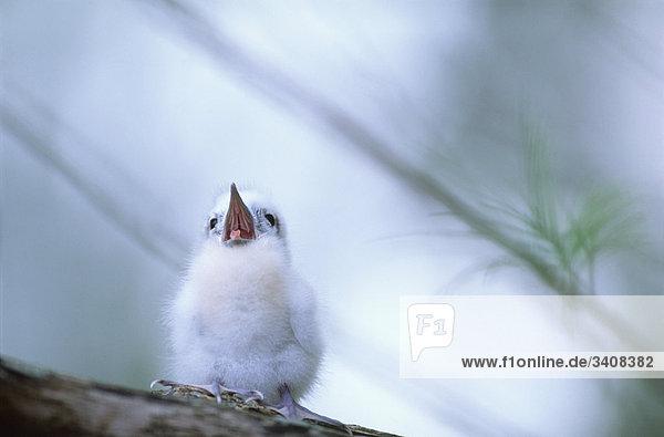 Weiße Tern Weiße Tern