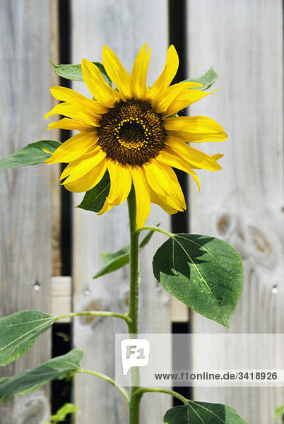 Sunflower in front of fence