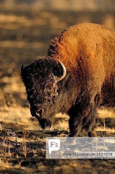 Plains bison Bison bison foraging in enclosed paddock shortly after prescribed burn