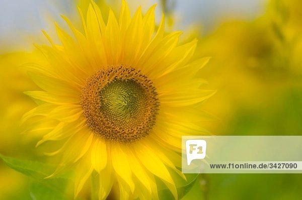 Deutschland  Sonnenblume (Helianthus)  Nahaufnahme