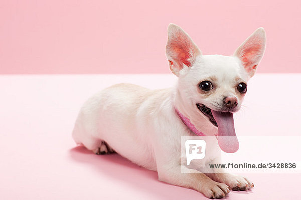 Porträt eines Chihuahua