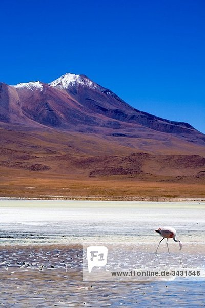Bolivia  Southern Altiplano  Uyuni Highlands Flamingoes upon a mineral coloured lake in the Bolivian Highlands