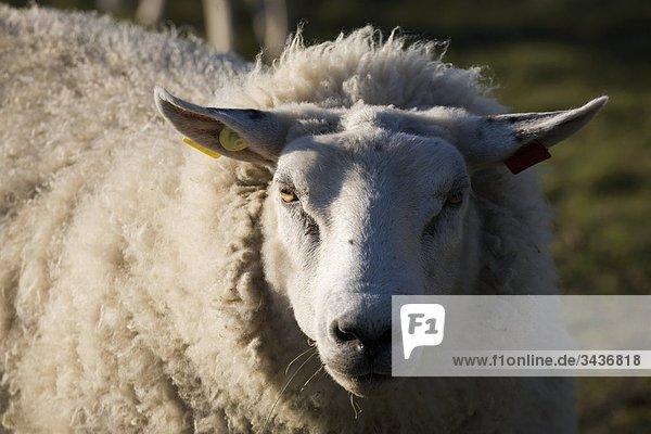 Nahaufnahme eines Schafes
