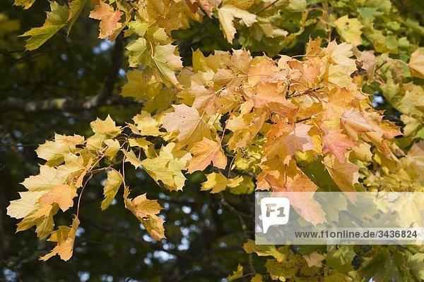 Ahornbaum in Herbstfarben