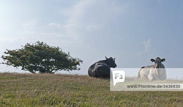 Kühe auf einem Hügel