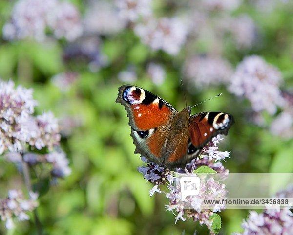 Tortioseshell Schmetterling sitzen auf einer Blume