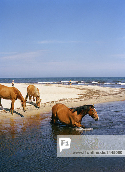 Horse bathing in the sea  Sweden.