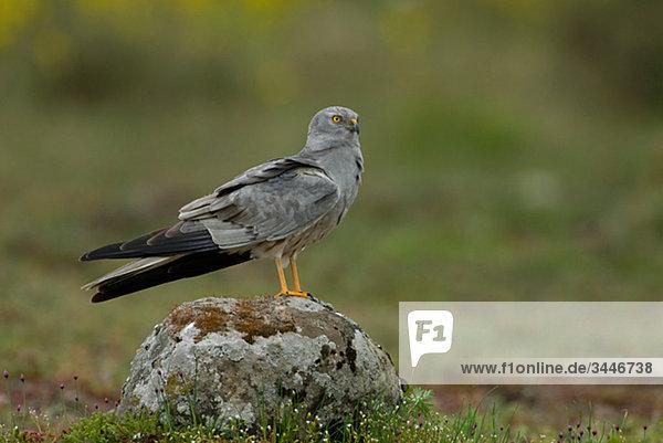 Skandinavien  Schweden  Oland  Montagus Harrier stehend auf Stein  Nahaufnahme