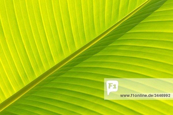 Madeira  Detail der Bananenblatt  Nahaufnahme (full-Frame)