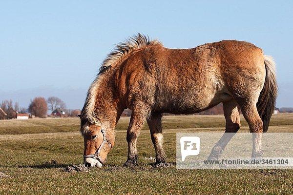 Norwegisches Fjordpferd Norweger  Fjordpony   Equus przewalskii f caballus  Schleswig-Holstein  Deutschland   Norwegian Fjord-Horse  Equus przewalskii f caballus  Schleswig-Holstein  Germany