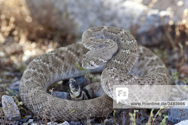 Texas-Klapperschlange (Crotalus atrox)  Arizona  USA  Close-up