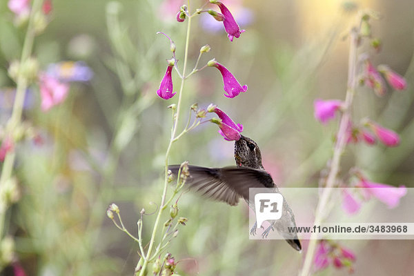 Kolibri frisst im Flug  Desert Botanical Garden  Phoenix  Arizona  USA