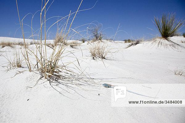 Eidechse im White Sands National Monument  New Mexico  USA  Erhöhte Ansicht