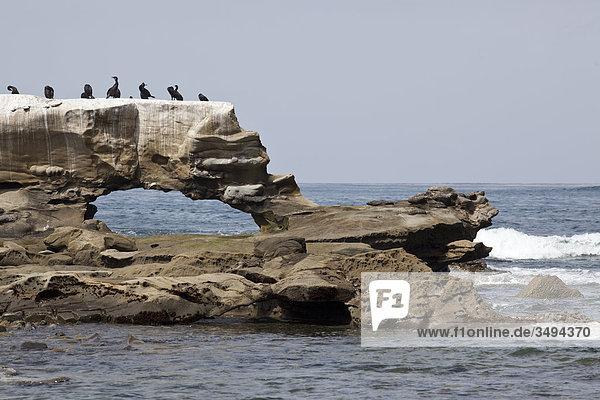 Vögel auf einem Felsen an der Küste von San Diego  Kalifornien  USA