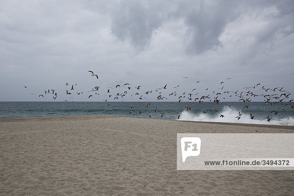 Vogelschwarm an einem Strand  Kalifornien  USA
