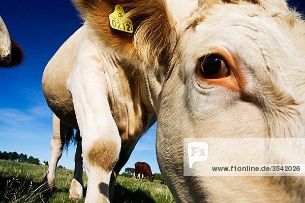 Vieh weidete  Schweden.