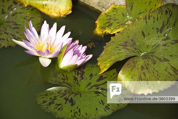 lotusblume nelumbo im wasser thailand close up lizenzpflichtiges bild bildagentur. Black Bedroom Furniture Sets. Home Design Ideas