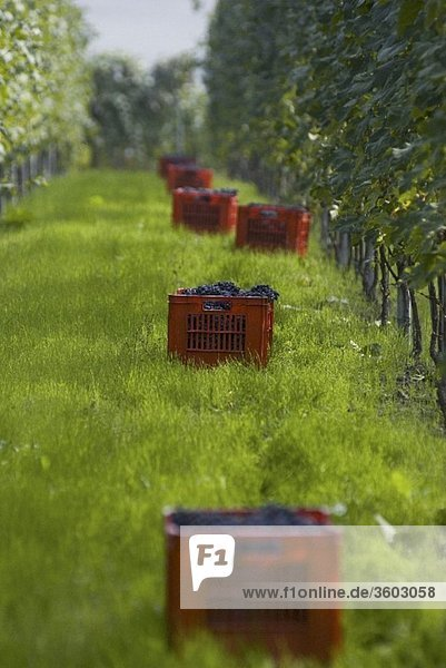 Weinlese von Nebbiolo-Trauben  Piemont  Italien
