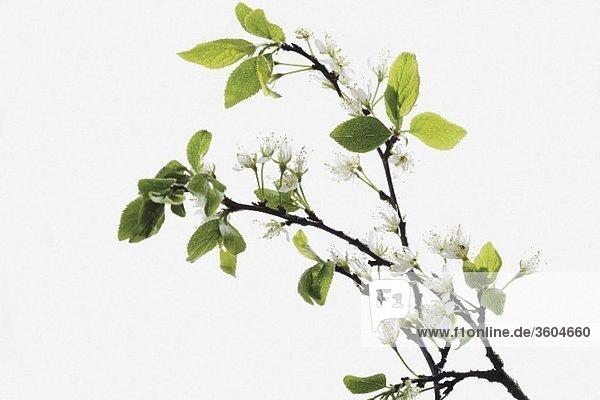 Zweige mit Pflaumenblüten