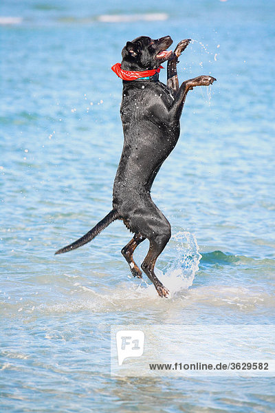 Side profile of a dog jumping in water
