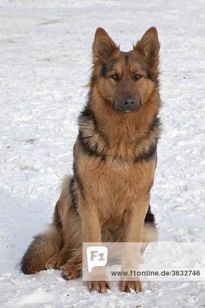 Ein Schäferhund beim Beobachten im Schnee