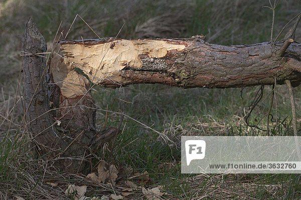 Eine von einem Biber gefällte Kiefer im Naturschutzgebiet von Moryn  Polen  Europa
