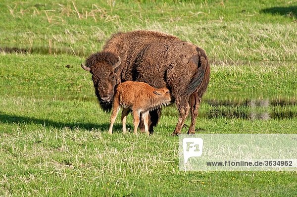 Yellowstone  American Bison and calf near the Madison River at Yellowstone National Park in northwestern Wyoming