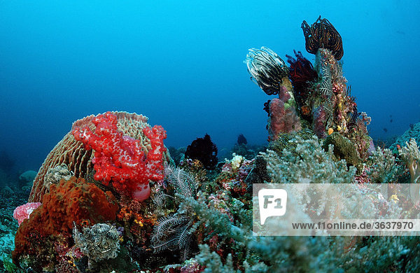 Coral reef  Komodo  Indian Ocean  Indonesia